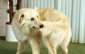 Почему собака грызет свой хвост?