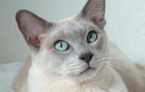 Уход за тонкинской кошкой