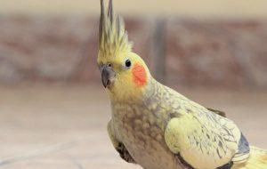 Чудо в перьях: как научить попугая разговаривать