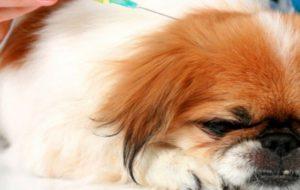 Собака много пьет воды и часто мочится – причина?