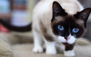 Сноу-шу – история возникновения и описание породы, сколько стоят и живут кошки?