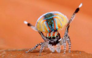 Павлиний паук ( Maratus volans )