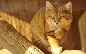 Барханный кот, маленький воин пустыни