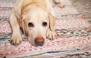 Как вовремя обнаружить симптомы подкожного клеща у собаки