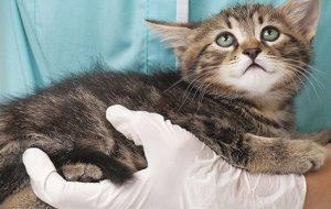 Пупочная грыжа у котенка