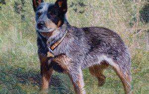 Австралийская пастушья собака (кеттл дог)