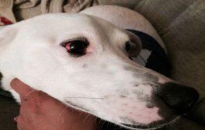 Красные глаза у собаки – причины и последствия