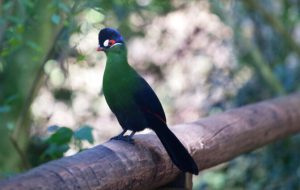 Бананоеды – геккон и птица. Чем они питаются?