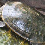 Чем необычна черепаха элсея белогорлая?