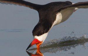Почему водореза называют фантастической птицей?