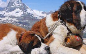 Самая огромная собака в мире