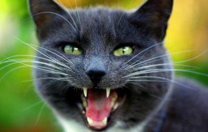 Кошка мяукает без причины, почему и что делать?