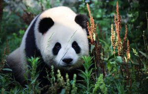 Большая панда или Бамбуковый медведь