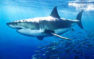 Тяжелые металлы оказались безвредными для белых акул
