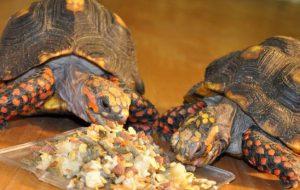 Сухопутная черепаха в домашних условиях — секреты ухода