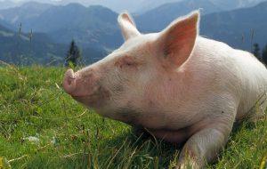 Свиньи спасут пациентов, нуждающихся в новой печени