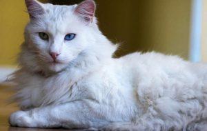 Седеет ли у кошек шерсть?