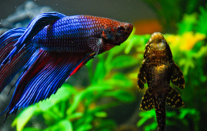 Аквариумная рыба петух