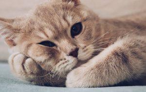 Как лечить глисты у кошки