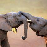 Способны ли слоны прыгать и бегать?