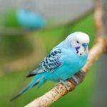 Как выбрать волнистого попугая, который заговорит?