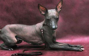 Голые собаки — особенности экзотичных пород