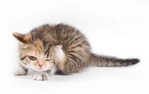 Котенок чешет ушки: причины и способы лечения