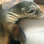 Маленький морской лев приполз к людям за помощью
