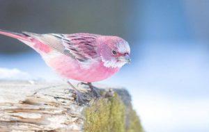 Розовые птицы – родственники Зари