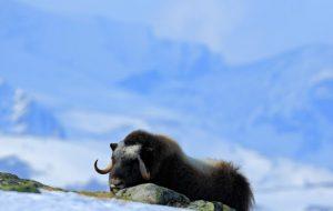 Как зимуют животные в экстремальных условиях?