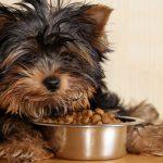 Чем кормить йоркширского терьера - как обеспечить правильный рацион?