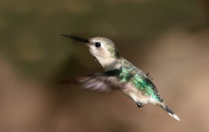 Виды колибри и образ жизни