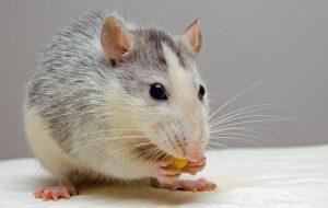 Крысиное житие