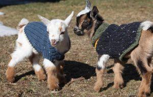 Мини-козы — друзья, приносящие пользу
