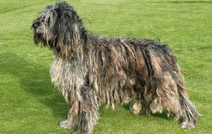 Чем хороши собаки породы бергамаско?
