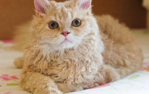 Селкирк рекс — необычная и яркая порода кошек