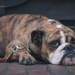 Как избавить собаку от врожденного портокавального шунта?