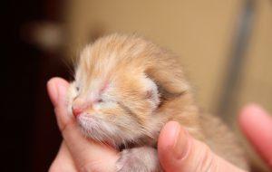 Каковы котята в «младенчестве» и как с ними обращаться?