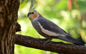 Попугай корелла: уход и содержание