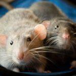 Можно ли обучить декоративных крыс забавным трюкам?