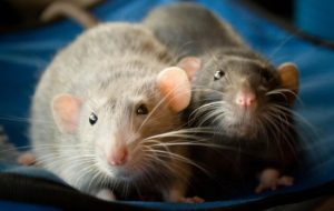 Домашняя крыса – друг человека?