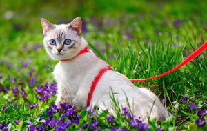 Как приучить кошку к прогулочному поводку?