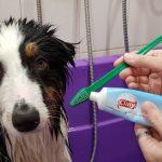 Чистка зубов собаке – нужно ли проводить подобные процедуры, как приучить питомца к чистке?