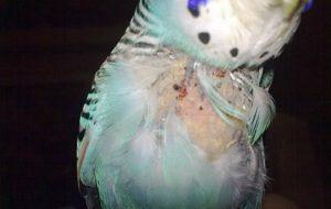 У волнистого попугая выпадают перья