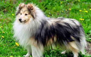 Мини-колли — всё о собаке породы шелти