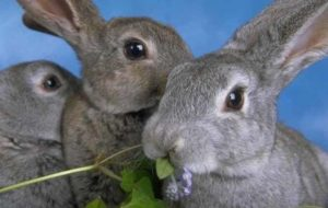 Кормление кроликов: чем и в каком количестве кормить животных?