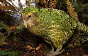 Какапо – удивительный попугай, занесенный в Красную книгу