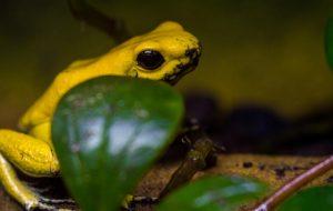 Где живёт самая ядовитая в мире лягушка?