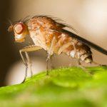 Чем маленькая мушка дрозофила покорила учёных?